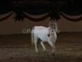 IMG_1043 Kerstin Brein u. ihre 5 kleinen Ponys - Freiheitsdressur (Holsteiner Gala Abend 2014)