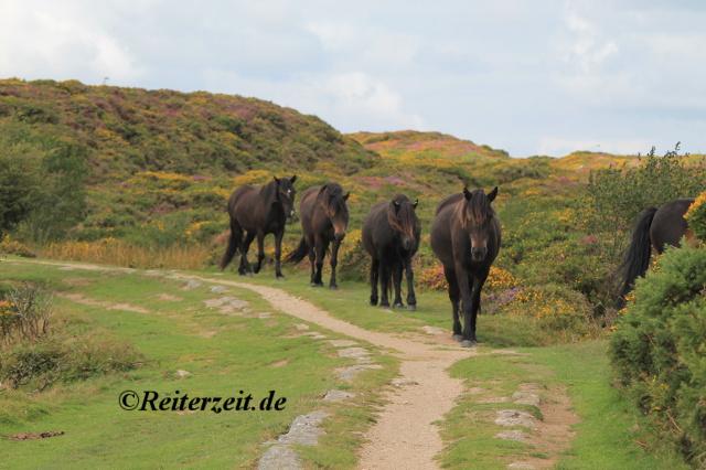 Dartmoor Ponygruppe