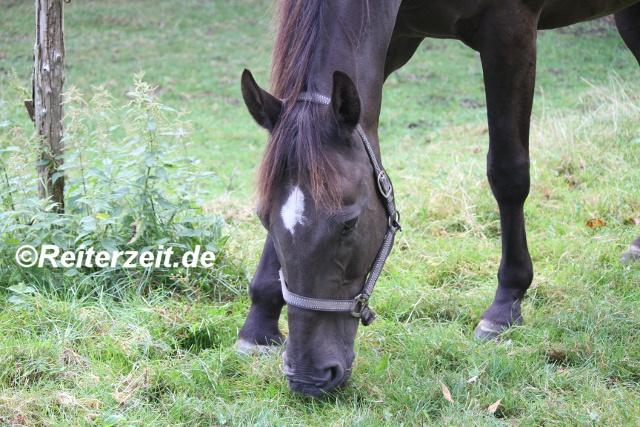 IMG_3770 Pferd beim Grasen