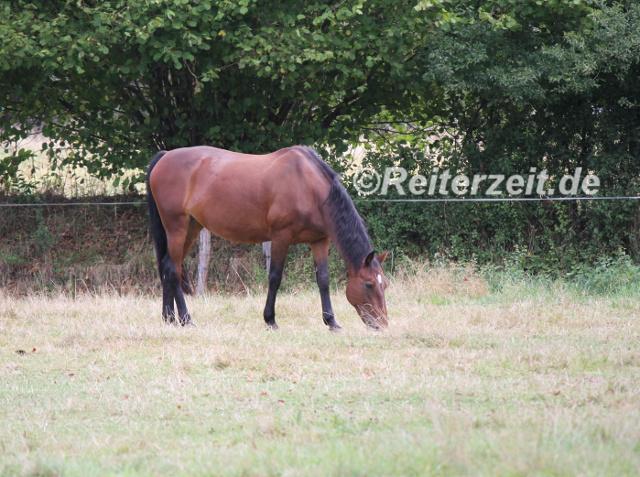 IMG_3800 Pferd grasend