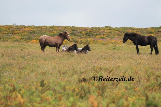 Dartmoor Ponys mit Fohlen