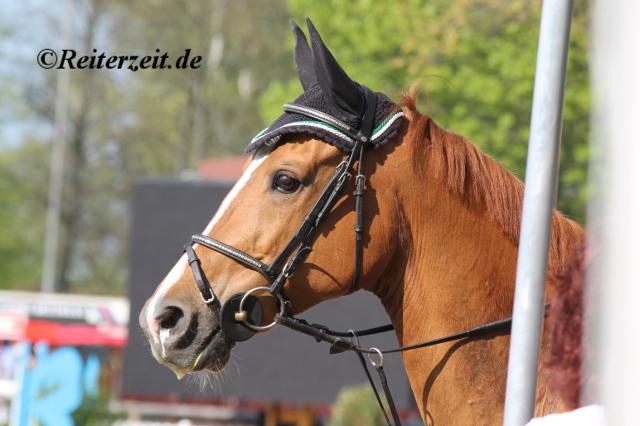 Turnierpferd Fräulein Smilla (in Bad Segeberg 2014)